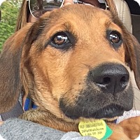 Adopt A Pet :: *Howie - PENDING - Westport, CT