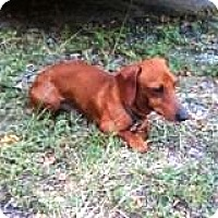 Adopt A Pet :: Baron Bavaria - Houston, TX