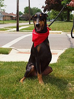 Doberman Pinscher Dog for adoption in Columbus, Ohio - Scarlett