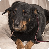 Adopt A Pet :: Stich Houndmix - St. Louis, MO