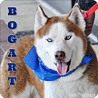 Adopt A Pet :: Bogart - Carrollton, TX