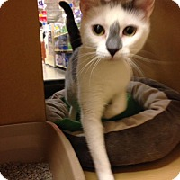 Domestic Shorthair Cat for adoption in Voorhees, New Jersey - Gracie - PetSmart