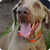 Weimaraner Dog for adoption in Loxahatchee, Florida - Dash Hammer