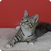 Domestic Shorthair Kitten for adoption in Columbia, Illinois - Frack