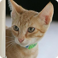 Domestic Shorthair Kitten for adoption in North Fort Myers, Florida - Maestro