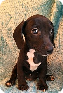 Dachshund/Border Collie Mix Puppy for adoption in Kittery, Maine - Nate