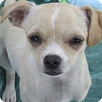 Adopt A Pet :: Scooby - Pleasanton, CA