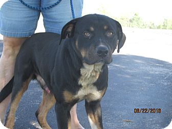 Rottweiler Mix Dog for adoption in Mount Sterling, Kentucky - Barlow