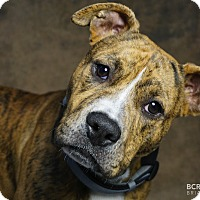 Pit Bull Terrier Mix Puppy for adoption in Cliffside Park, New Jersey - BOBBLE