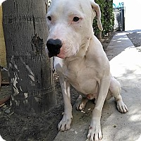 Adopt A Pet :: KEEBLER (Olympia) Sweet dog friendly -needs foster - Bainbridge Island, WA