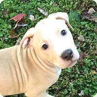 Bull Terrier Mix Puppy for adoption in Cincinnati, Ohio - Copper