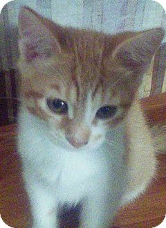Domestic Shorthair Kitten for adoption in Alhambra, California - Pikachu