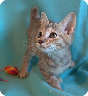 Manx Kitten for adoption in Hagerstown, Maryland - Bonnie