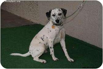 Dalmatian Mix Dog for adoption in Newcastle, Oklahoma - Faith Petunia