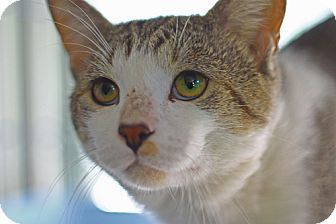 Domestic Shorthair Cat for adoption in Lombard, Illinois - Johnny