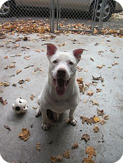 German Shepherd Dog/American Staffordshire Terrier Mix Dog for adoption in Southbury, Connecticut - Casper