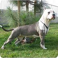 American Staffordshire Terrier Dog for adoption in El Segundo, California - Nikki