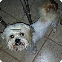 Adopt A Pet :: Ollie - Bardonia, NY