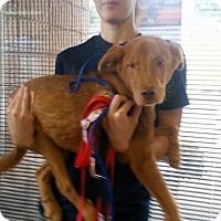 Adopt A Pet :: Corbin - Rexford, NY