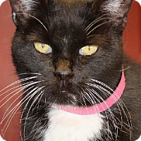 Domestic Shorthair Cat for adoption in Savannah, Missouri - Carly
