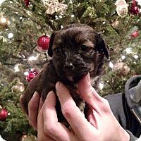 Adopt A Pet :: Cinnamon - Newtown, CT