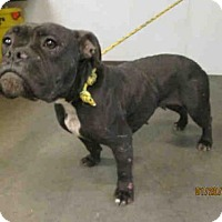Adopt A Pet :: STAR A1607150 is in danger at West Valley - Beverly Hills, CA
