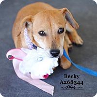 Adopt A Pet :: BECKY - Conroe, TX