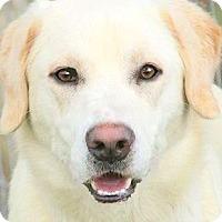 Adopt A Pet :: LEVI(GORGEOUS PB LABRADOR!! - Wakefield, RI