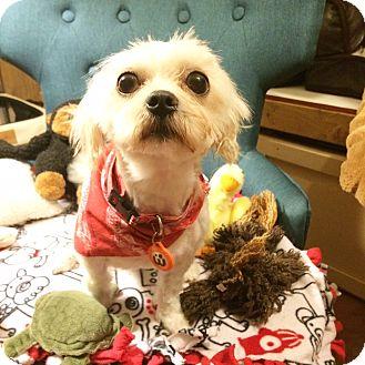 Shih Tzu/Maltese Mix Puppy for adoption in Seattle, Washington - Teddie