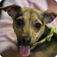 Terrier (Unknown Type, Small) Mix Dog for adoption in Canoga Park, California - Charlie