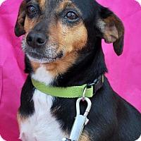 Rat Terrier Dog for adoption in Madison, Alabama - Mattie