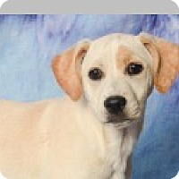 Beagle/Terrier (Unknown Type, Medium) Mix Dog for adoption in Pittsboro, North Carolina - Penny
