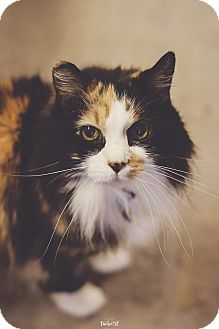 Calico Cat for adoption in New Richmond,, Wisconsin - Sunshine