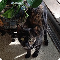 Domestic Shorthair Cat for adoption in Cleveland, Ohio - Cheyenne