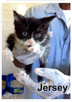 Domestic Shorthair Kitten for adoption in Dillon, South Carolina - Jersey