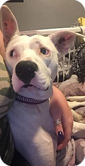 Dalmatian/American Pit Bull Terrier Mix Dog for adoption in Willingboro, New Jersey - Harley