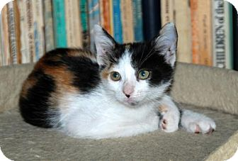 Calico Kitten for adoption in Los Angeles, California - Cupcake