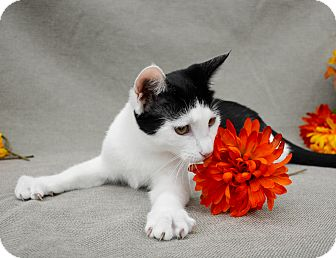 Domestic Shorthair Kitten for adoption in Richmond, Virginia - Bailey