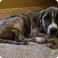 Anatolian Shepherd Mix Puppy for adoption in Staten Island, New York - Moss