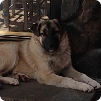 Adopt A Pet :: Zeus - Bedford Hills, NY