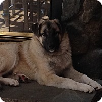 Anatolian Shepherd Mix Puppy for adoption in Bedford Hills, New York - Zeus