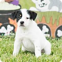 Adopt A Pet :: Halo - Santa Fe, TX