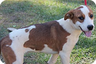 Labrador Retriever/Jack Russell Terrier Mix Puppy for adoption in East Dover, Vermont - Penny - REDUCED FEE