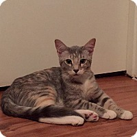 Domestic Shorthair Cat for adoption in McKinney, Texas - Jean Grey - Courtesy Listing