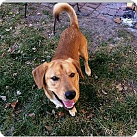 Adopt A Pet :: Brody - Indianapolis, IN