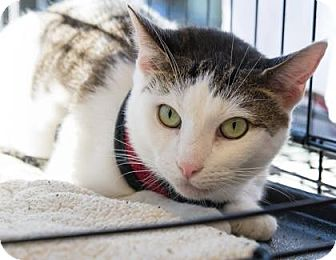 Domestic Shorthair Cat for adoption in New York, New York - Brookie