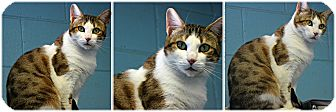 Domestic Shorthair Cat for adoption in Forked River, New Jersey - Devi