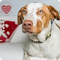 Adopt A Pet :: Zen - Inglewood, CA