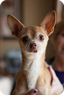 Chihuahua Dog for adoption in Matthews, North Carolina - Nibbles