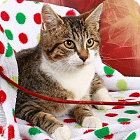 Adopt A Pet :: Calvin - super snuggly - Madison, TN
